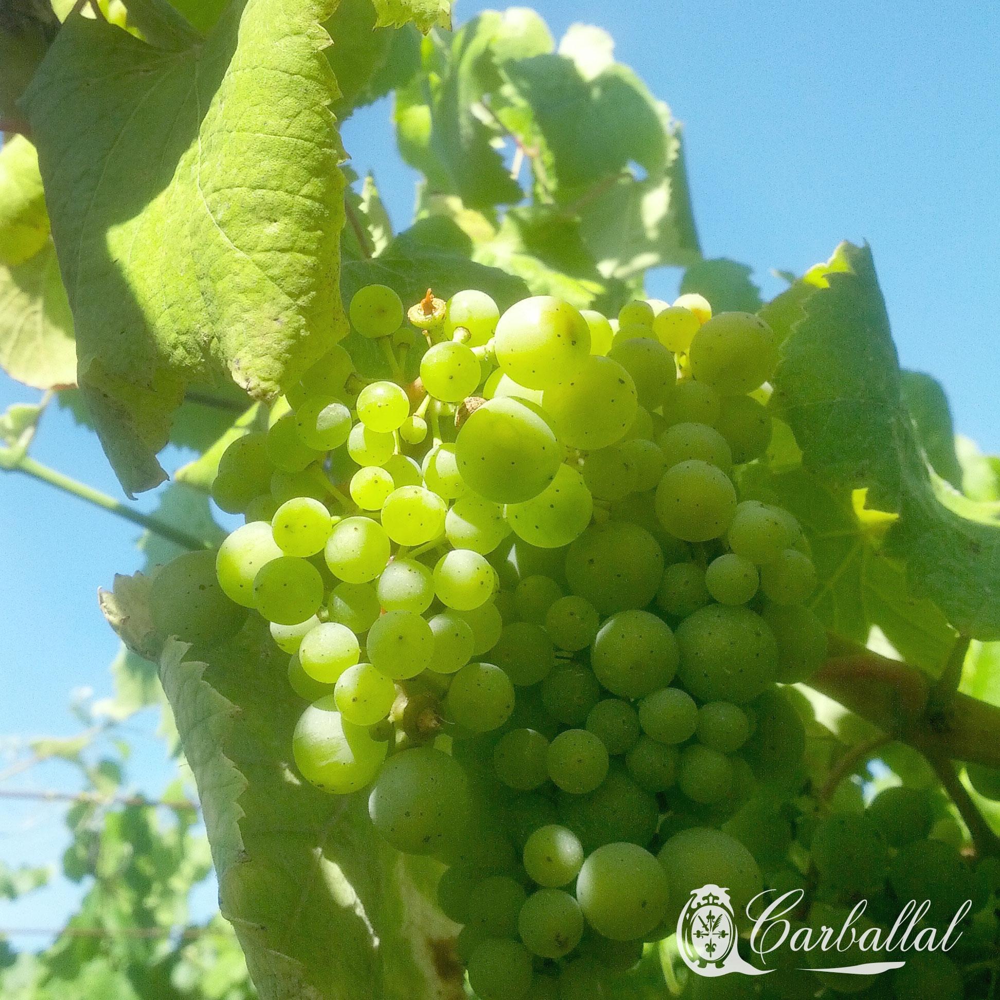 Agosto colorea uvas: el envero - Blog